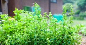 Sănătate de la natură – Oregano