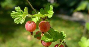 Sănătate de la natură: Agrişele – Tinereţe fără bătrâneţe